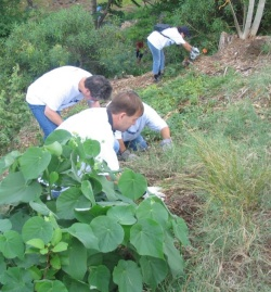 Photo of a group planting a Hau Tree and removing non-native, invasive grasses.