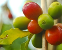 Photo of coffee beans.