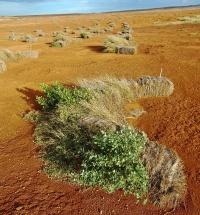 Photo of pili grass bundles.