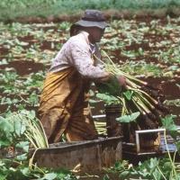 Photo of a man harvesting taro.