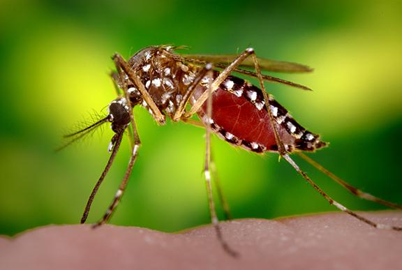 dengue fieber usa