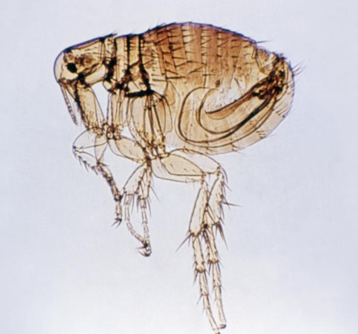 Disease Outbreak Control Division Murine Typhus
