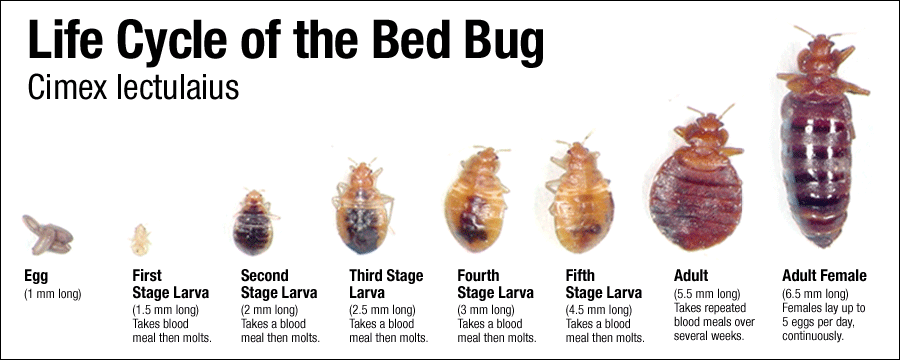 Bed bug. Disease Outbreak Control Division   Bed Bugs
